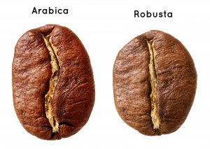Robusta Coffee Bean_Coffee And Espresso Difference